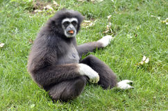 White-handed gibbon sitting on grass Royalty Free Stock Photo