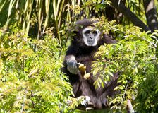 White handed gibbon peaking out of a tree looking at viewer. White handed Gibbon sitting in a tree eating a banana. It is an endangered primate in the gibbon Royalty Free Stock Photos