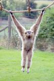 White Handed Gibbon Swinging. White Handed Gibbon Swing on a rope royalty free stock photos