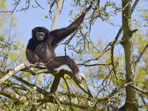 White-handed gibbon in tree. The lar gibbon or white-handed gibbon Hylobates lar sitting on branch of tree Stock Image