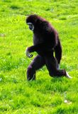 White Handed Gibbon Walking. White Handed Gibbon Waliking across the Grass Royalty Free Stock Photography
