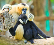 White handed Gibbon and White gibbon. Gibbons are apes in the family Hylobatidae Stock Image