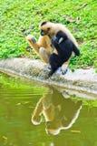 White handed Gibbon and White gibbon Royalty Free Stock Image