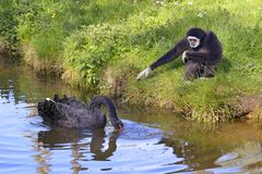 White-handed gibbon and black swan royalty free stock photo