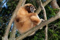 White-handed gibbon Stock Image