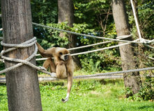 White handed gibbon Stock Photography