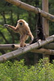 White-handed gibbons Stock Images