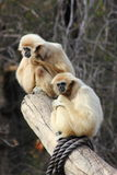 White Handed Gibbons Stock Photo