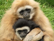 White handed gibbons hugging. Two white handed gibbons hugging at south lakes safari zoo Royalty Free Stock Photos