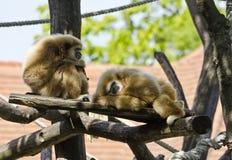 White-handed gibbons Stock Photo