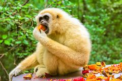 White Handed or Lar Gibbon. Monkey. Gibbon eating fruits in the forest, Hylobates Lar species living in Indonesia, Laos, Malaysia, Myanmar and Thailand in Royalty Free Stock Photography