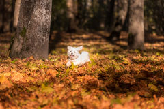 White Happy Maltese dog is running on autumn leaves. Stock Photo