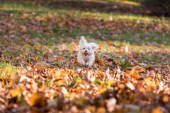 White Happy Maltese dog is running on autumn leaves. Stock Photography