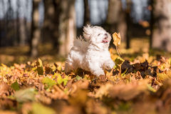 White Happy Maltese dog is running on autumn leaves. Royalty Free Stock Photography