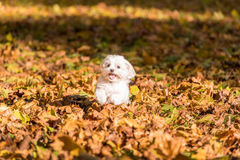 White Happy Maltese dog is running on autumn leaves. Royalty Free Stock Photo