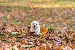 White Happy Maltese dog is running on autumn leaves. Royalty Free Stock Images