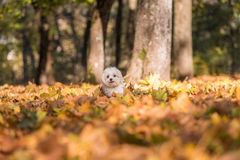 White Happy Maltese dog is running on autumn leaves. Stock Image