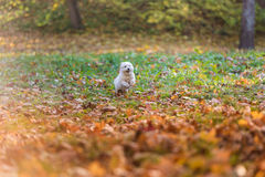 White Happy Maltese dog is running on autumn leaves. Royalty Free Stock Photos