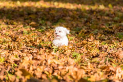 White Happy Maltese dog is running on autumn leaves. Stock Images