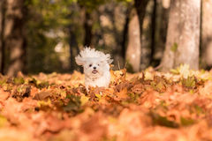 White Happy Maltese dog is running on autumn leaves. Royalty Free Stock Image