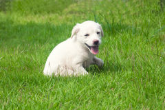White happy puppy Royalty Free Stock Photos