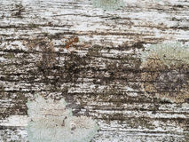 White Hardwood Surface with Red Ant Royalty Free Stock Photos