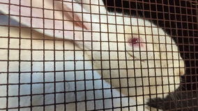 White hare in a mesh metal cage. stock video