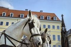 White harnessed to a leather harness horse on the street of an o. Ld European city stock photography