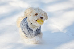 White havanese dog with ball in the snow stock photos