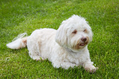 White havanese dog lying in the green grass stock photography