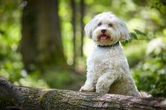 White havanese dog posing on a tree trunk. White havanese dog standing on a tree trunk Royalty Free Stock Photo
