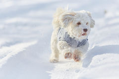 White havanese dog running in the snow royalty free stock photo