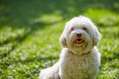 White havanese dog sitting in the green grass in the garden stock photos