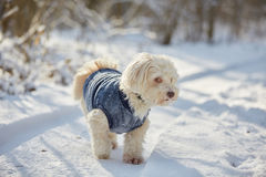 White havanese dog in the snow royalty free stock photo