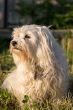 White Havanese Stock Images