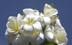 White Hawaiian flowers Royalty Free Stock Photography