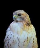 White hawk Royalty Free Stock Photo