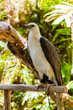 White hawk. Royalty Free Stock Image