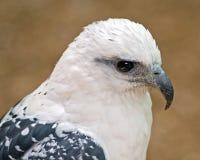 White hawk Stock Image