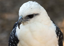 White hawk portrait Royalty Free Stock Photo