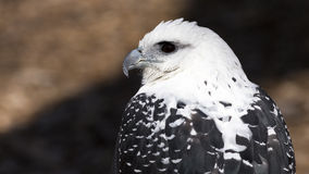 White hawk in profile Royalty Free Stock Photo