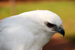 White Hawk Stock Photography