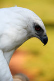 White Hawk Stock Photos