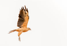 White Hawk, Pseudastur albicollis, from Panama soaring on a whit Stock Photography