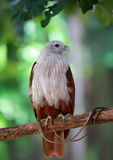 White hawk Royalty Free Stock Photography