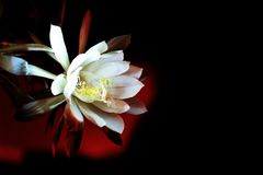 Epiphyllum in middle of the night. The white haze quietly opened in the middle of the night Stock Photo
