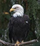 White Head Bald Eagle in Tree Washington Royalty Free Stock Photos