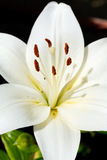 White head of bloom Lilium candidum Stock Photos