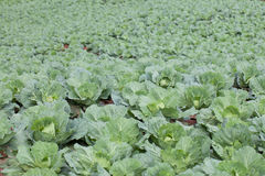 White head cabbages in cabbages field Royalty Free Stock Images