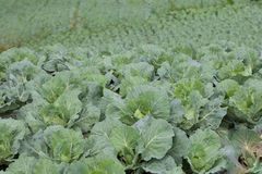 White head cabbages in cabbages field Stock Photos